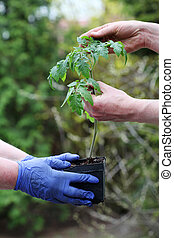 Checking young tomato seedling - Gardener takes care of...