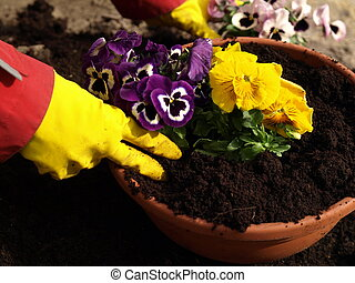 Planting flowers - Planting pansy flower in flowerpot,...