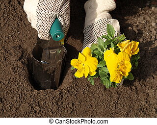 Garden work - Planting yellow pansy flower in garden, garden...