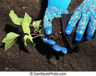 Planting ivy - Putting ivy seedling out from plastic flower...