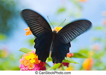 Black Swallowtail Butterfly - Swallowtail Butterfly, The...