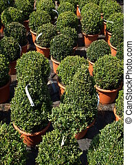 Buxus - Green boxwood trees in flowerpots for sale