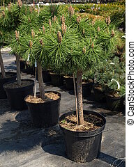 Pine tree - Pine young trees in plastic flower pot