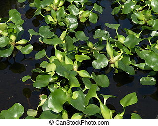 Water plant - Water Hyacinth Eichhornia Crassipes- beauty...