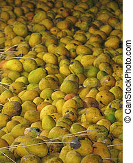 Mango-processing factory - Mangoes, Mangifera indica L, are...