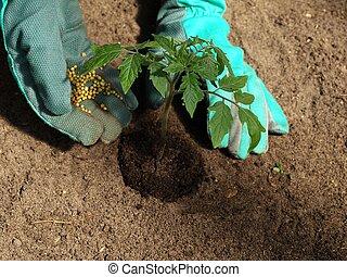 Tomato fertilizer - Garden work: putting fertilizer to...