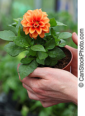 Seedling of dahlia - Seedling of young orange dahlia