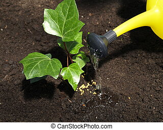 Watering ivy plant
