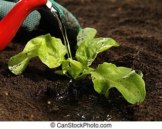 Watering a plant, closeup - Close up of man watering lettuce...