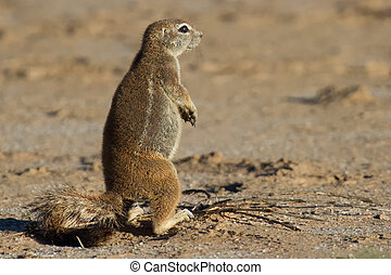 Small ground squirrel sitting on sand eating his food in...