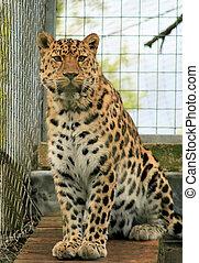 Leopard 6 - Leopard