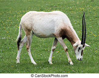 Scimitar horned oryx 4 - Scimitar horned oryx