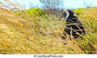 Penguin in the wild - Penguin standing alone in the wild...