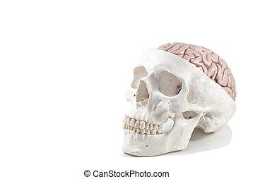 humano, cráneo, cerebro, modelo, aislado
