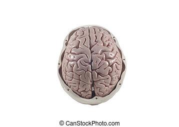 cerebro, humano, cráneo, modelo, aislado