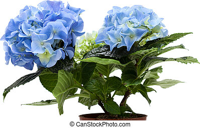hydrangea - blue mini hydrangea isolated on white, whole...