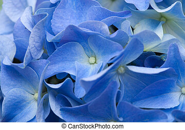 hydrangea - blue hydrangea natural background
