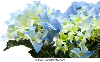 hydrangea - blue hydrangea isolated on white