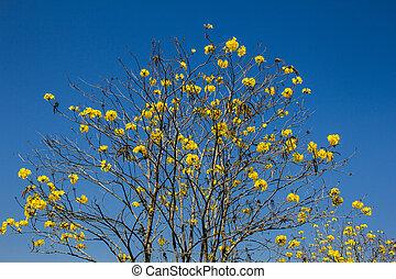 Tabebuia chrysotricha yellow flowers, golden Chiangrai...