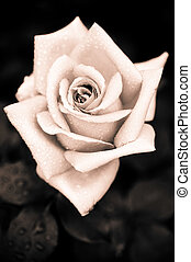 Grungy pink rose with water drops at vintage gothic style...