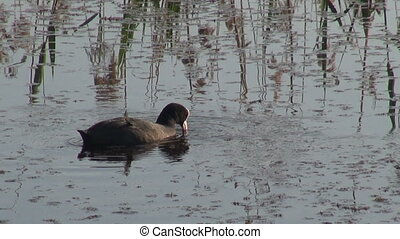 one wild bird coot (Fulica atra) on lake water