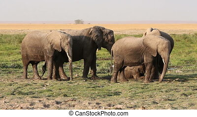 African elephants in mud - African elephants (Loxodonta...