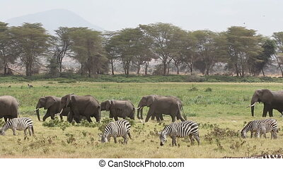African elephants and plains zebras - African elephants...