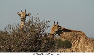 Feeding giraffes - Giraffes (Giraffa camelopardalis) feeding...