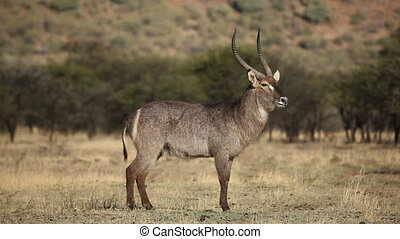 Waterbuck bull Kobus ellipsiprymnus standing in natural...