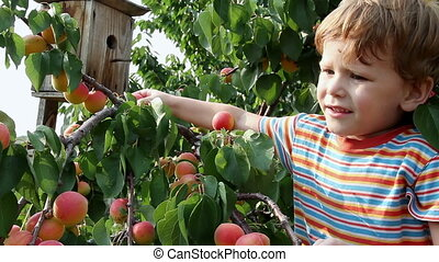 Delicious Apricots - Boy rips off the branches and eat...