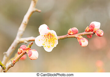 UME Japanese plum-blossom in Osaka Japan