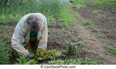 gardening work - woman carefully grub small weeds between...