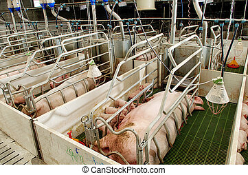 pork plant - Pork plant with very large pigs in special...