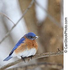 Bluebird, Sialia sialis - Eastern bluebird, Sialia sialis,...