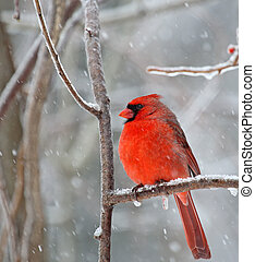 Northern Cardinal, Cardinalis cardinalis - Male northern...