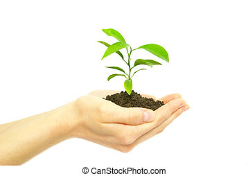 plant in hands - Hands holding sapling in soil on white...