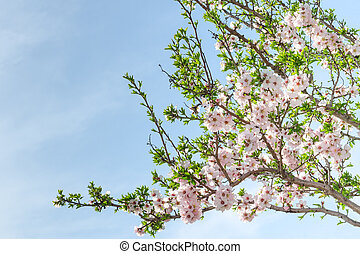 Spring blooming almond tree with flowers and foliage against...
