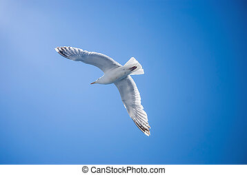 Soaring - A seagull with expanded wingspan soars against a...