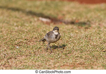 Cape wagtail - Juvenile Cape wagtail