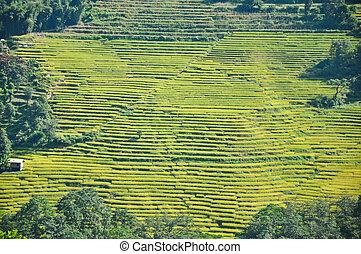 Rice Terrace in Pelling, Sikkim, India