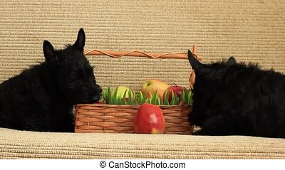 scottish terrier with apples