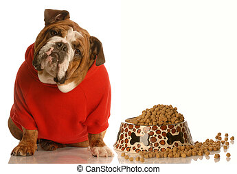 hungry dog - english bulldog in red sweater sitting beside...