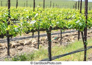 Grapevines in Spring