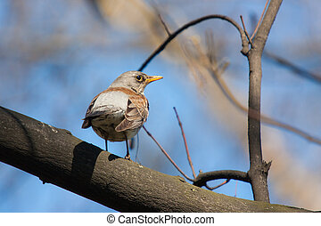 fieldfare - portrait of fieldfare on branch tree in spring