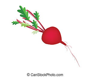 Fresh Radish Or Beet on White Background - Vegetable, Vector...