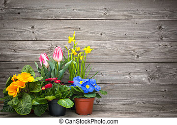 spring flowers in pots on wooden background. Tulips,...