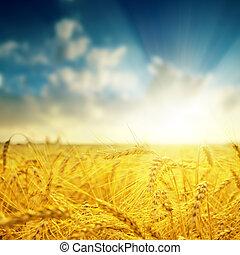 barley close up and sunset