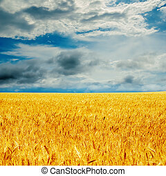 dramatic sky and golden barley