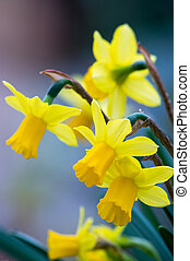 Narcissus - Flowering Daffodills in early springtime