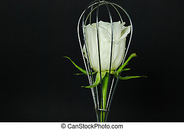 Caged Beauty - White rose in a wire wisk.